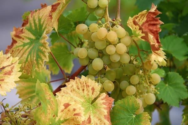白ワイン用ブドウ