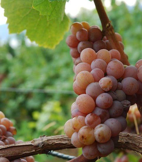 ゲヴュルツトラミネールのブドウ