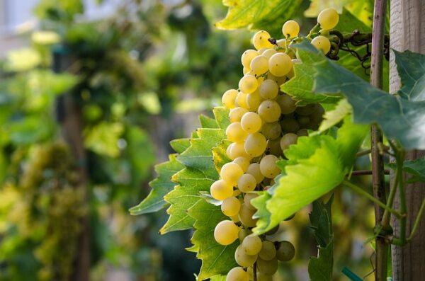 白ワイン用葡萄