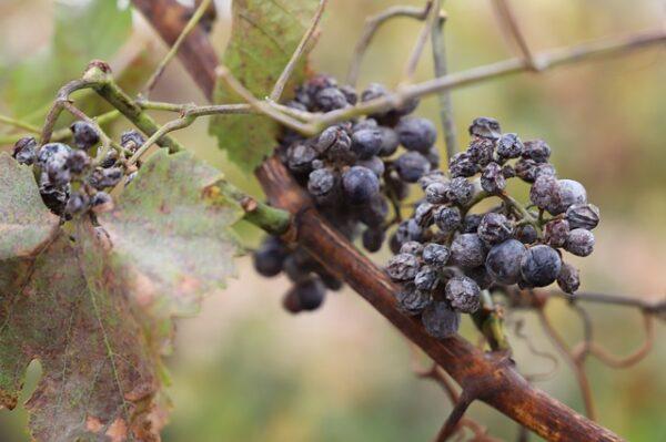 アイスワインのブドウ